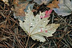 LEAF 2 (KayLov) Tags: swannanoa scenery asheville grove park inn leaves foliage