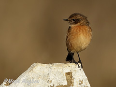 Stonechat (markandruth.photos) Tags: stonechat bird wildlife photography nature canon canonuk canonphotography cotswolds feathers animal