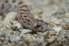 Googly Eyes (Tony P Iwane) Tags: sanbernardinocounty phyllorhynchusdecurtatus westernleafnosedsnake snake reptile twentyninepalms california unitedstates snakes mojave desert herping fieldherping