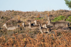Sika Deer Cervus nippon Driving The Herd (Barbara Evans 7) Tags: sika deer cervus nippon driving the herd godlingston heath dorset uk barbara evans7