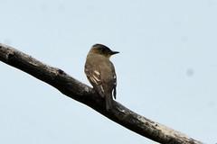 Western Wood-Pewee (Contopus sordidulus) (R-Gasman) Tags: travel bird westernwoodpewee contopussordidulus inglewoodbirdsanctuary calgary alberta canada