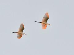 Great Egret (Ardea alba) Ägretthäger (peterhörenius) Tags: greategret ardeaalba ägretthäger