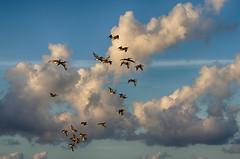 sky full of pelicans (ucumari photography) Tags: ucumariphotography pelicans birds animal sky blue clouds staugustine florida fl august 2018 dsc0336 specanimal