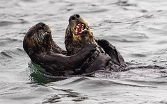 Stop tickling me ha ha (andy_harris62) Tags: seaotter seamammal outdoors california elkhornslough water tickling funny nikond850 nikkor outside