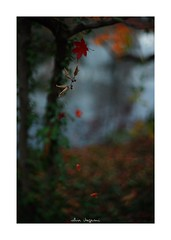 2018/12/8 - 3/15 photo by shin ikegami. - SONY ILCE‑7M2 / Lomography New Jupiter 3+ 1.5/50 L39/M (shin ikegami) Tags: 紅葉 macro マクロ 井の頭公園 吉祥寺 winter 冬 sony ilce7m2 sonyilce7m2 a7ii 50mm lomography lomoartlens newjupiter3 tokyo sonycamera photo photographer 単焦点 iso800 ndfilter light shadow 自然 nature 玉ボケ bokeh depthoffield naturephotography art photography japan earth asia