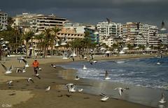 Entre Gaviotas (chelocatala) Tags: playa edificios pueblo hombre gaviotas palmeras villajoyosa alicante