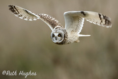 Short-eared Owl diving for his supper. (markandruth.photos) Tags: owl short eared winter bird wildlife photography nature canon canonuk canonphotography cotswolds flight flying feathers prey animal
