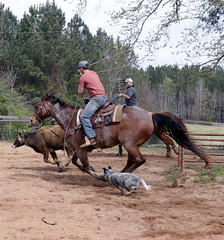 Curtis Crumbley and Frankie Ogle throw their ropes in chase of the cow running ahead of them. Crumbley and Ogle are practicing roping cattle for a rodeo event they compete in from month to month.