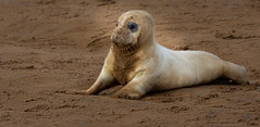 In the lime light. Born today at Donna Nook England. (pitkin9) Tags: animal mammal greyseal greysealpup borntoday eastcoast britishcoastline lincolnshire england nature wildlife wildlifephotography outdoorphotography nikond7200 nikor200500mm