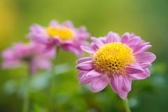 chrysanthemum 3797 (junjiaoyama) Tags: japan flower plant chrysanthemum mum pink autumn fall macro bokeh