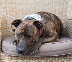 Thor (Anna Calvert Photography) Tags: thor canine dogs landscape outdoors puppies scenery staffie staffiex bluestaffie