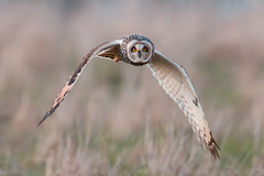 Not much luck at the moment so a Shortie from earlier this year (PIX SW) Tags: shortie shortearedowl owl raptor bird flying wings