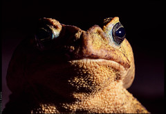 portrait of a toad (emersonik) Tags: amphibia animalia bufonidae rhinellasp vertebrata amphibian anfíbio animais animal animals closeup detail detalhe frog sapo sapocururu toad vertebrado vertebrate