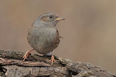 Passera scopaiola (Marcello Giardinazzo) Tags: passerascopaiola prunellamodularis avifauna birds bird natura wild uccelli