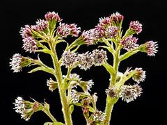 Winter Heliotrope (niloc's pic's) Tags: winterheliotrope petasitesfragrans pink flower wildflower robertsbridge eastsussex panasonic lumix dcg9