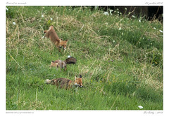 Renards (BerColly) Tags: france auvergne puydedome mammifere mammal renard fox summer été field champs bercolly google flickr