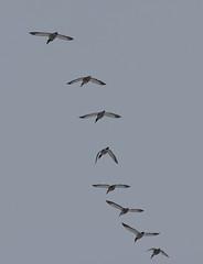 Mallards (Laura Erickson) Tags: anatidae stlouiscounty peabodystreet birds duluth mallard anseriformes species places minnesota anasplatyrhynchos