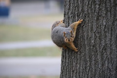 Fox Squirrels in Ann Arbor at the University of Michigan - January 15th, 2019 (cseeman) Tags: gobluesquirrels squirrels foxsquirrels easternfoxsquirrels michiganfoxsquirrels universityofmichiganfoxsquirrels annarbor michigan animal campus universityofmichigan umsquirrels01142019 winter eating peanuts acorns januaryumsquirrel