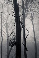 20190202-034 (sulamith.sallmann) Tags: landschaft pflanzen wetter baum botanik brandenburg buche buchenwaldgrumsin bäume deutschland europa laubbaum natur nebel nebelig pflanze uckermark wald weltnaturerbe winter winterlich sulamithsallmann