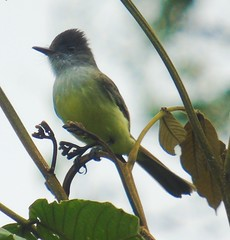 Rose-winged Becard female 1 (Malhen227) Tags: costarica birds becard