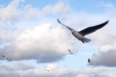 Blowing in the Wind (tanyalinskey) Tags: wings clouds sky windy inflight flying gull bird birds