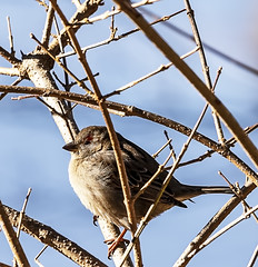 House Sparrow (will139) Tags: sparrow housesparrow passerdomesticus passeridae feathers wildlife beak fauna small flight mean naturallighting