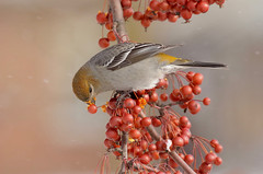 Unfazed (Slow Turning) Tags: pinicolaenucleator pinegrosbeak bird perched tree branch foraging feeding eating fruit food crabapples malus fallingsnow winter southernontario canada