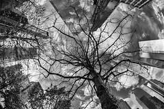 tree at 9/11 Memorial (Francis Mansell) Tags: 911memorial tree fisheye monochrome blackwhite niksilverefexpro2 building architecture skyscraper officeblock oneworldtradecenter sky cloud skyline newyork manhattan swampwhiteoak quercusbicolor memorial 911 wtc
