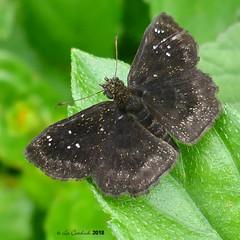Staphylus (probably unicornis) (LPJC) Tags: skipper butterfly panama 2018 lpjc quebradagarza staphylusunicornis