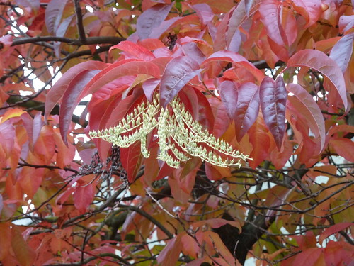 20121025_Alma4th_OxydendrumArboreum_Cutl by wlcutler, on Flickr