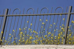 Mustard Flowers & Fence (zeevveez) Tags: זאבברקן zeevveez zeevbarkan canon yellow flower fence