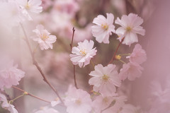 Pink Blossom (- Etude -) Tags: sakura zachchang pink cherry blossom dreamy