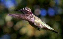 Anna's Hummingbird - ♂ (Calypte anna) (J.Thomas.Barnes) Tags: ngc