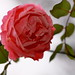 Rosa Rose 🌹