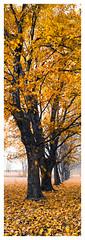 Fall in Possum Creek (jeremy.mudd) Tags: fall leaves autumn fujigx617 fuji fujipro400h pro400h gx617 ohio