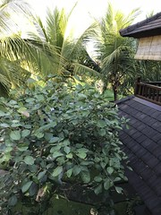 View from my hotel room- oh so green! (shankar s.) Tags: seasia indonesia java bali islandparadise baliisland touristdestination hotel lodgings accomodation resort entrance blissubudspaandbungalow ubudbali reception garland statue idol hindufaith hindureligion hinduism prayer shrine garden landscaping greenery tree