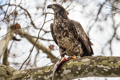 7K8A3283 (rpealit) Tags: scenery wildlife nature conowingo dam susquehanna river maryland immature bald eagle eating fish bird