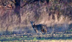 Stare Down (CindyFullwiler Nature Photography) Tags: swans field farms coyote pup forest nikon d500