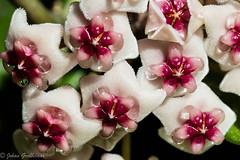 Hoya nectar (Johan Grobbelaar) Tags: hoya