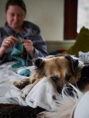 50/52 – knitting aid (stephubik) Tags: candork knitting socks dog portait 52weeksfordogs