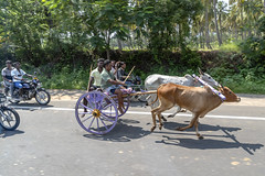 Ox Racing (Kev Gregory (General)) Tags: tour south southern india indian asia kev gregory canon 6d mark ii holiday bangalore mysore kabini ooty madurai munnar alleppey cochin marari beach ox oxen race racing festival animals mammals carriage tradition culture