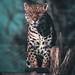 Dartmoor Zoo Chinca the Jaguar