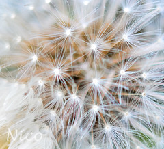 Dandelion fluff DSC_0616 Peluches de pissenlit (Nicole Nicky, mostly off temporarily.) Tags: macro dandelionfluff dsc0616 peluchesdepissenlit pissenlit seeds fluff flower fleur plant nature dandelion canada quebec white blanc brown brun mauvaisesherbes weed