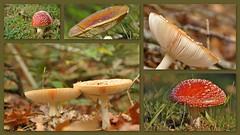 My collection of mushrooms (wilma HW61) Tags: collage photoborder paddestoel mushroom fungus fungo pilz herfst herbst autumn automne autunno natuur nature natur naturaleza nikond90 nederland niederlande netherlands holland holanda paysbas paesibassi paísesbajos europa europe outdoor wilmahw61 wilmawesterhoud vliegenzwam zwam