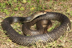 Eastern Brown Snake (Mitch Thorburn) Tags: eastern brown snake pseudonaja textilis venomous elapid south queensland
