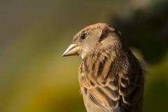 (Jérôme_M) Tags: canon eos 600d sigma 150600 bokeh bird oiseau moineau nature faune aquitaine landes seignanx saintmartindeseignanx natgeo natimages lemondedelaphoto wildlife