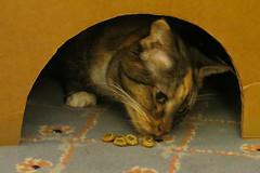 Gracie 11 October 2018 1233Ri 4x6 (edgarandron - Busy!) Tags: gracie patchedtabby cat cats kitty kitties tabby tabbies cute feline