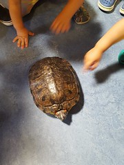 There It Is (milfodd) Tags: july 2018 mobile hudsonlibrary tortoise