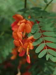 Rattle Box Flower (bamboosage) Tags: meyeroptik oreston 1850 m42