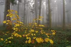 Denière couleur d'automne dans la Forêt de Myon (francky25) Tags: denière couleur dautomne dans la forêt de myon franchecomté doubs brume matinale ambiance